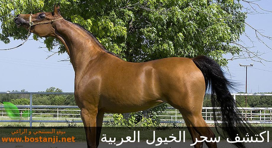 اكتشف سحر الخيول العربية