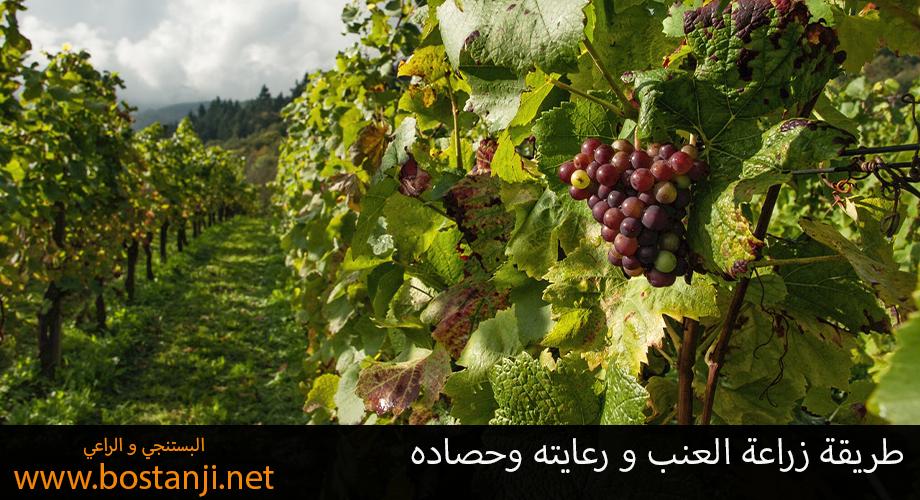 طريقة زراعة العنب و رعايته وحصاده