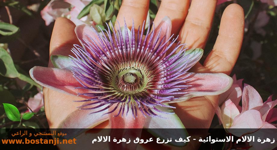 زهرة الالام الاستوائية - كيف تزرع عروق زهرة الالام