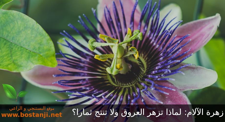 زهرة الآلام: لماذا تزهر العروق ولا تنتج ثمارا؟