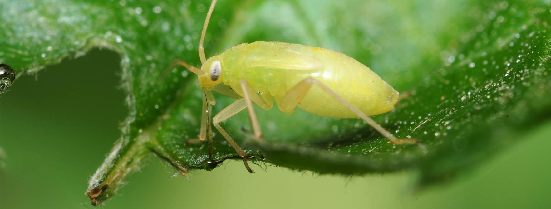 كيف تتخلص من حشرات  المن بالطرق الطبيعية؟